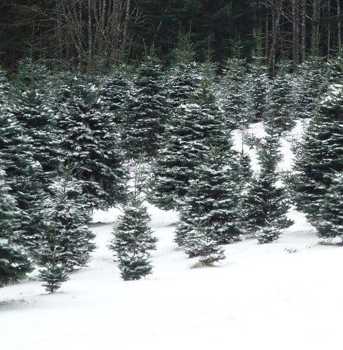 U-Cut Christmas Trees Portland Oregon