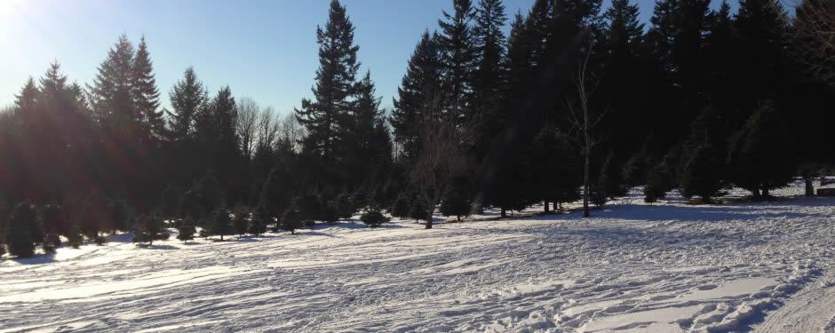 U-Cut Noble Christmas Trees